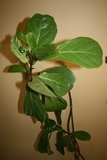 Fiddle-leaf fig Julie Bawden-Davis-resized