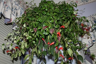 Lipstick Plant Hanging-resized