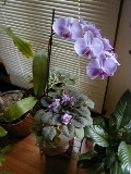 Moth Orchid and African Violet-resized-homepage