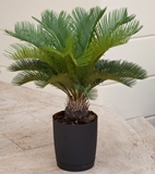 Sago palm-homepage